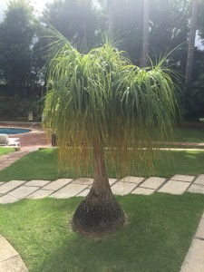 Now that is what you call a Beaucarnea!!